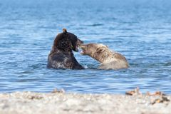 Wild brown bear grizzly fight in the lake in summer. Adult bears play in the lake royalty free stock photos