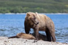 Wild brown bear grizzly ursus actors protects cute little bears cubs on the lake. Bears. Bears on the beach on background Lake
