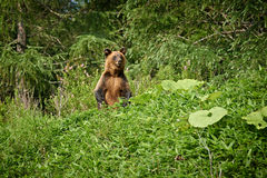 Wild Brown Bear in Hokkaido, Ussuri Grizzly Royalty Free Stock Images