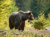 Eurasian brown bear - Ursus actor actor - in spring spruce forest Royalty Free Stock Photography