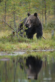 Wild brown bear reflections Stock Photo