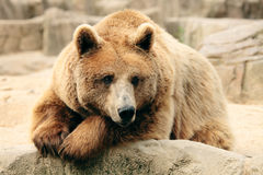 Wild brown bear Stock Images