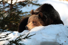 Wild brown bear on snow. A wild female brown bear resting in the snow during a cold winter day Stock Image