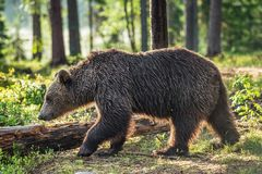 Wild Brown bear in the summer forest Stock Photography