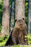 Wild Brown Bear in the summer forest Royalty Free Stock Images