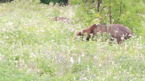 Wild brown bear stock video footage