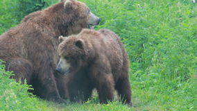 Wild brown bear stock video
