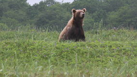 Wild brown bear stock video