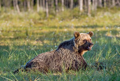 Wild Brown bear Ursus Arctos Arctos in the summer forest. Natural green Background Stock Photo