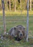 Wild brown bear (Ursus arctos) Stock Photo