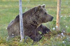 Wild brown bear (Ursus arctos) on the meadow Royalty Free Stock Photos