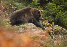 Wild Brown Bear, Ursus arctos, sitting on rock in colorful autumn forest. A close up photo of a wild, big male, Brown Bear, Ursus arctos, relaxing on rock in Stock Photography