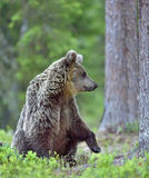 Wild Brown bear (ursus Arctos) Stock Image