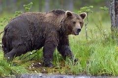 Wild Brown bear (ursus Arctos) Stock Photos