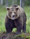 Wild Brown bear (ursus Arctos) Stock Image