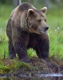 Wild Brown bear Stock Image