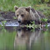 Wild Brown bear (ursus Arctos) in the summer forest Stock Image