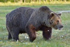 Wild brown bear (Ursus arctos) on the SWAMP Stock Photography
