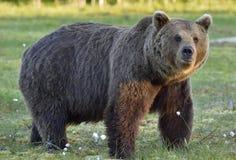 Wild brown bear Ursus arctos on the swamp Stock Photo