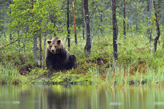 Wild Brown Bear ( Ursus Arctos ) in twilight in  the summer forest. Green natural background Stock Images