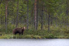 Wild Brown Bear ( Ursus Arctos ) in twilight. In  the summer forest . Green natural background Stock Photos