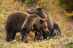 Wild Brown Bear, Ursus arctos,  two cubs, playing on the meadow. A close up photo of a wild, Wild Brown Bear, Ursus arctos,  3 years old cubs, playing on the Stock Photography