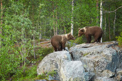 Wild Brown Bear, Ursus arctos,  two cubs, playing on the rock, waiting for mother bear. A close up photo of a wild, Wild Brown Bear, Ursus arctos,  2 years old Stock Photography