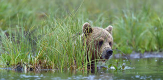 Wild Brown Bear ( Ursus Arctos ) in  the  water. Green natural background Stock Photo