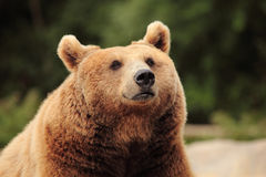 Wild brown bear Stock Photography