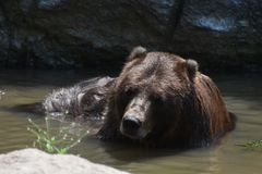 Wild brown bear in the wild bathing Stock Images