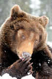 Wild brown bear. In winter forest Stock Image