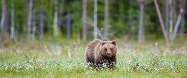 Wild Brown bear (Ursus Arctos Arctos) in the summer forest Royalty Free Stock Photos