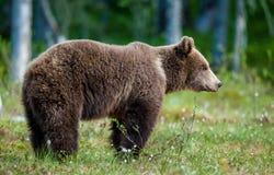 Wild Brown bear (Ursus Arctos Arctos) in the summer forest Stock Photos