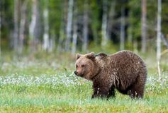 Wild Brown bear (Ursus Arctos Arctos) in the summer forest Royalty Free Stock Images