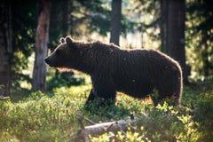 Wild Brown bear (Ursus Arctos Arctos) in the summer forest Royalty Free Stock Photo