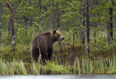 Wild Brown Bear ( Ursus Arctos ) in twilight in  the summer forest Stock Photo