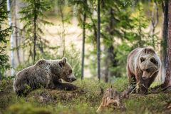 Wild Brown Bears  Ursus Arctos. In the summer forest Royalty Free Stock Images