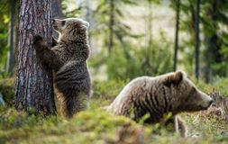 Wild Brown Bears. Ursus Arctos. Wild Brown Bears Ursus Arctos in the summer forest. Green forest natural background Stock Photo