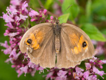 Wild brown buttefly on pink flowers Royalty Free Stock Photo