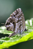 Wild brown  butterfly. On a green leaf in the bush Stock Images