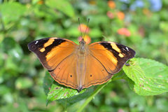 Wild Brown Butterfly. Brown wild butterfly spreading it's wings over a plant stock photo