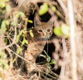 Wild brown Cat Stock Image