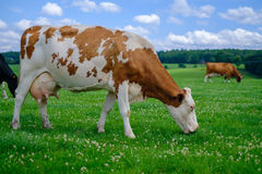 The wild brown cow is eating grass Stock Images