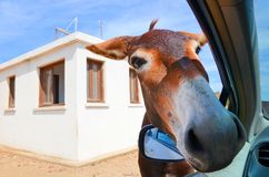 899318961939 Wild brown donkey with his had in opened car window. White building in the  background