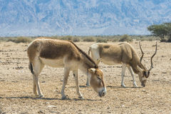 The wild brown donkey Onager and horned antelope Addax Stock Photo