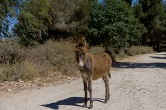 A wild brown donkey stands on the road in the forest stock photo