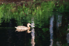 Wild brown duck floating on water surface of pond. At summer day Royalty Free Stock Images