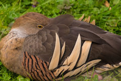 Wild brown duck sleeping resting on grass Royalty Free Stock Photography