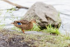 Wild Brown duck stands on the shore. Beautiful wild Brown duck stands on the shore Royalty Free Stock Photos