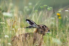 Wild brown european hare Royalty Free Stock Photography